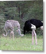 Two Ostriches Metal Print