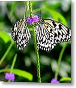 Two Paper Kite Or Rice Paper Or Large Tree Nymph Butterfly Also Known As Idea Leuconoe Metal Print