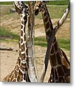 Two Reticulated Giraffes - Giraffa Camelopardalis Metal Print