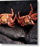 Two Sally Lightfoot Crabs Metal Print