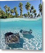 Two Stingrays 1 Metal Print