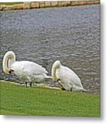 Two Swans Grooming Metal Print
