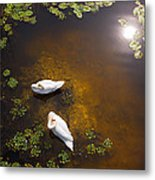 Two Swans With Sun Reflection On Shallow Water Metal Print