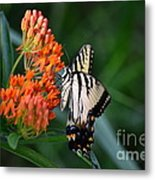 Two-tailed Swallowtail Metal Print