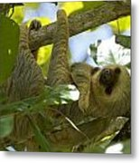 Two-toed Sloth Relaxing With A Grin Metal Print