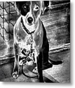 Two Tone Toby-jack Russell Metal Print