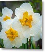 Two-toned Daffodils Metal Print