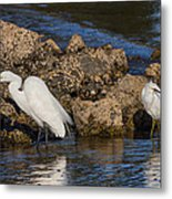 Two White Herons And A Coot Metal Print