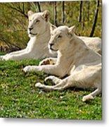 Two White Lions Metal Print