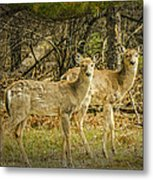 Two White Tailed Deer Metal Print
