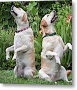 Two Yellow Labrador Retrievers Sitting Metal Print