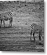 Two Zebras Eating. Tanzania Metal Print