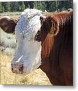 Typical Cattle Metal Print