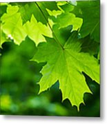 Under The Maple Leaves - Featured 2 Metal Print