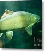 Underwater Shot Of Trophy Sized Tiger Trout Metal Print