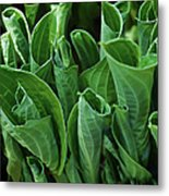 Unfurling Of The Hosta Metal Print