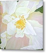 Unfurling White Hibiscus Metal Print