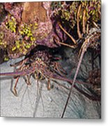 Up And Down Lobster Metal Print