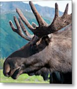 Up Close And Personal With A Moose Metal Print