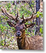 Up Close And Personal With An Elk Metal Print