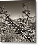 Uprooted - Bryce Canyon Sepia Metal Print