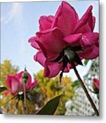 Upward Roses Metal Print