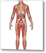 Urinary, Skeletal & Muscular Systems Metal Print