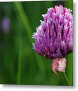Usa, Oregon, Keizer, Chives In Bloom Metal Print