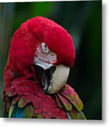 Vanity-close Up Of A Green Winged Macaw Metal Print