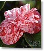Variegated Camellia Metal Print