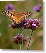Variegated Fritillary Butterfly Square Metal Print