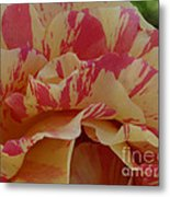 Variegated Rose Metal Print