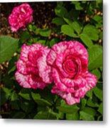 Variegated Roses Metal Print