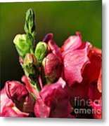 Variegated Snapdragon Metal Print