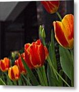Variegated Tulips Metal Print