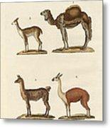 Various Camels Metal Print