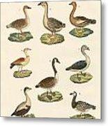 Various Kinds Of Geese Metal Print