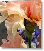 Velvety Soft Vanilla And Pink Iris Metal Print