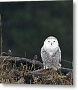 Vermont Snowy Owl Metal Print