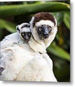Verreauxs Sifaka With Baby Madagascar Metal Print
