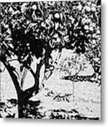 vertical branches of green unripened oranges on an orange tree bush growing in a garden Tenerife Canary Islands Spain Metal Print