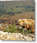 Very Light-colored Grizzly Bear In Moraine River In Katmai Nnp-ak Metal Print