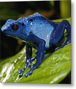 Very Tiny Blue Poison Dart Frog Metal Print