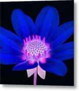 Vibrant Blue Single Dahlia With Pink Centre On Black. Metal Print