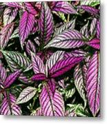 Vibrant Persian Shield II Metal Print
