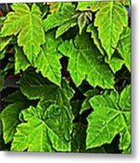 Vibrant Young Maples - Acer Metal Print