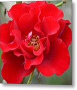 Vibrantly Red Rose Metal Print