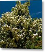 Viburnum Opulus Compactum Bush With White Flowers Metal Print