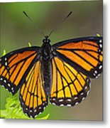 Viceroy On Fern Frond Metal Print