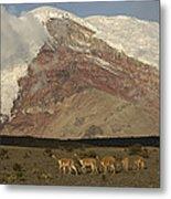 Vicuna Herd Grazing At Mt Chimborazo Metal Print